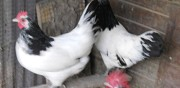 Vends poule lakenfelder coings