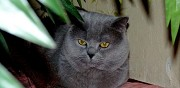 British shorthair pour saillie paris