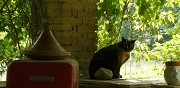 Chat siamois perdu castres