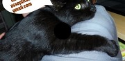 Chat m�le type europ�en � adopter rennes