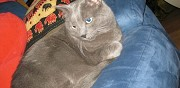 Donne trs beau chat bleu russe de 11 ans meudon la foret