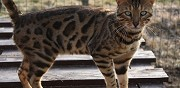 Saillie chat m�le bengal loof origine am�ricaine marat