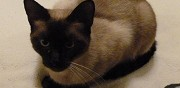 Chat siamois m�le pour saillie bonneville