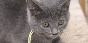 Vente chat chartreux paris
