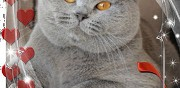 British shorthair m�le pour saillie les fins