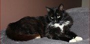 A adopter superbe chat noir smoking blanc 8 ans montreuil