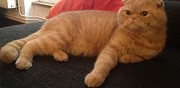 Superbe m�le scottish fold pour saillie paris