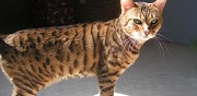 Chat du bengal brown spotted tabby poil court lof à vendre bouchemaine