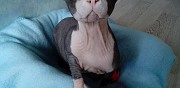 Vends chat sphynx non lof nantes