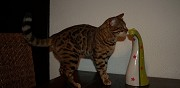 Chat de race bengal � vendre marseille