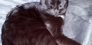 Chat m�le pour saillie paris