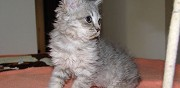 Vends adorable chatonne inya selkirk rex pc paris