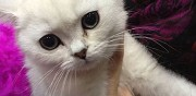 Vends chaton british shorthair marseille