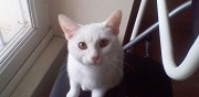 Chatte blanche 5 mois � adopter gaillac