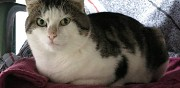 Adorable chat � adopter les andelys