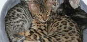 Vends chaton bengal loof anneyron