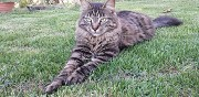 Perdu chat tigr� rousson
