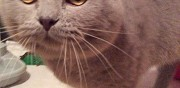 British shorthair lilas bb offre saillie suresnes