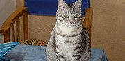 Chat type europ�en de 3 ans beauzelle