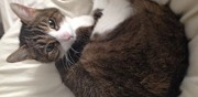 Perdu chat tigr� et blanc paris