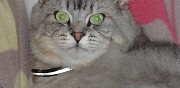 Vends m�le sacr� de birmanie crois� scottish fold epinal