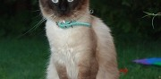 Chat de type ragdoll pour saillie aoste