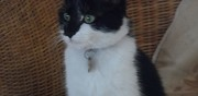 Perdue petite chatte d'1 an annecy