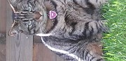 Perdu chatte tigr�e avec un collier et m�daillon rose gr�sy sur is�re