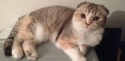 Femelle scottish fold cherche saillie nancy