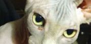 Vends chaton sphynx loof dompaire
