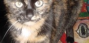 Chat �caille de tortue perdue hy�res
