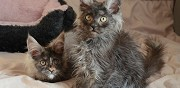 Vends chatons pure race maine coon disponibles toulouse