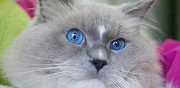 Mâle ragdoll loof blue mitted pour saillie angers