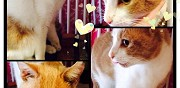 Jeune chat d'un an � adopter sannois