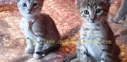Vends chatons maus egyptien silver la geneytouse