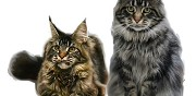 Vends chatons maine coon disponible wattrelos