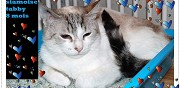 Belle chatte siamoise � adopter sannois