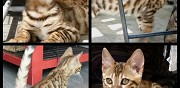 Vends chaton bengal � rosettes loof clamart