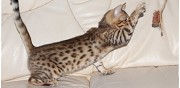 Magnifique chaton bengal loof serley