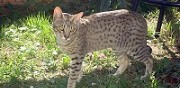 Vends chatons ocicat  le fenouiller