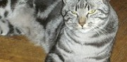 Donne chat gris tigr� paris