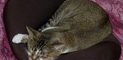 Abyssin californian spangled femelle cherche chat pour saillie