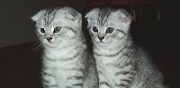 Vends 2 chatons scottish fold baho