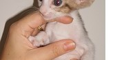 Vends chaton peterbald oriental femelle