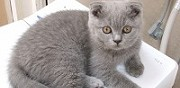 Vends chatons scottish fold lens