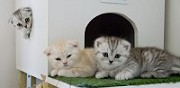 Vends chatons scottish fold