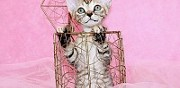 Vends b�b� devon rex toulouse