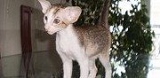 Vends chaton peterbald oriental loof