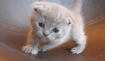 Vente chatons scottish fold et straight loof