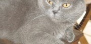 Donne scottish fold femelle vidauban